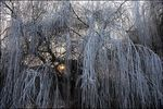 Title: Frosty Willow