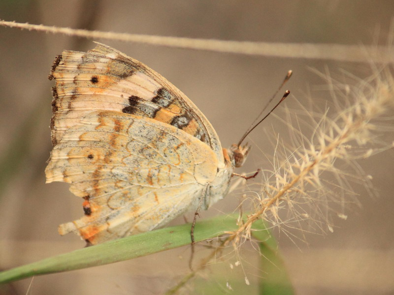 A Brownish Butterfly