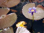 Title: Water Lily