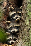 Title: Raccoons