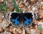 Title: Junonia Orithya : Blue Pansy