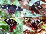 Title: Crimson Rose Butterfly