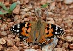 Title: Painted Lady : Vanessa Indica Indica