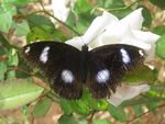 Title: Hypolimnas bolina : Great Eggfly