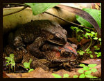 Title: Amplexus among Common Indian Toads.