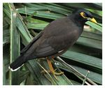 Title: The Common Indian Myna