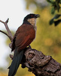 Title: Burchells Coucal