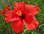 Title: Red hot hibiscusCanon PowerShot A470
