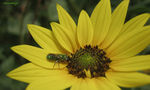 Title: Sweat Bee on a Sunflower