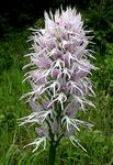 Title: Orchis italica