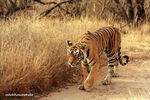 Title: Queen of Ranthambhore Forest