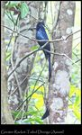 Title: Greater Racket-Tailed Drongo