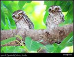 Title: Spotted Owlet Pair