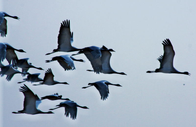 Demoiselle Cranes in flight