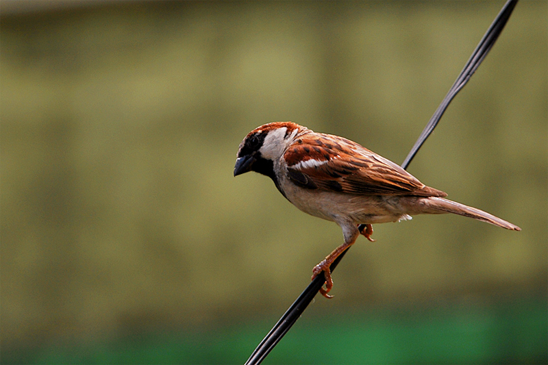 Indian House Sparrow (Male)