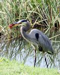 Title: Great Blue Heron with crawdad