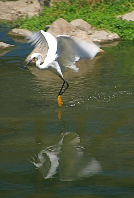 Snowy Egret, Dancing on Water