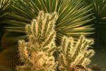 Title: Teddy Bear or Jumping Cholla