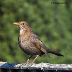 Title: Female Blackbird