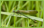 Title: Female Banded Demoiselle