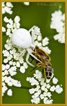 Title: Crab Spider with dinnerCanon EOS 400D + Grip BG-E3