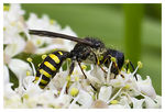 Title: Field Digger Wasp