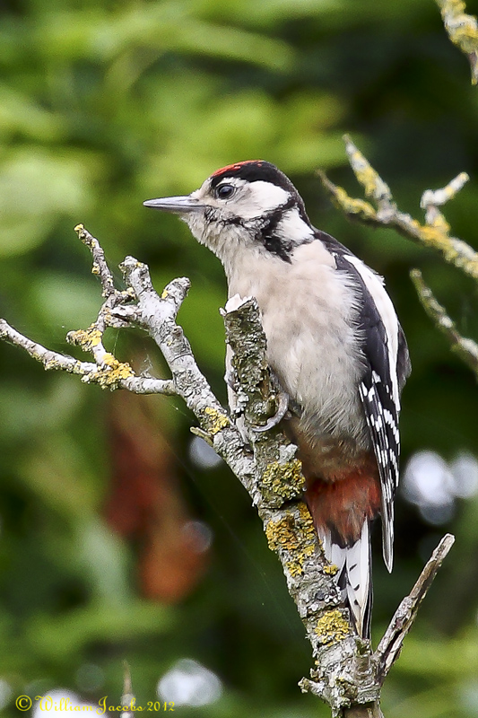 Juvenile Great Spotted Woodpecker.