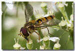 Title: Hoverfly