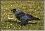 Title: The Jackdaw