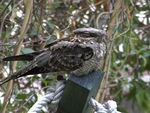 Title: Nightjar restingFuji Film FinePix S9500