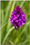 Title: Pyramidal Orchid