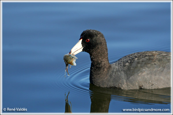 Hungry Coot