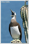 Title: Brown Booby