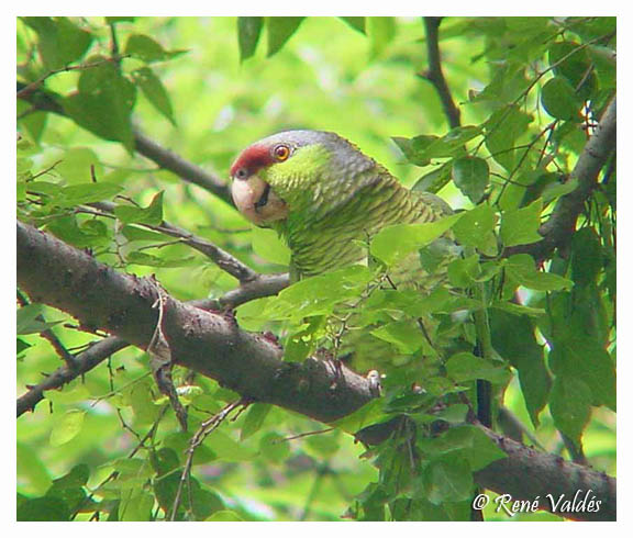 Feral Lilac-crowned Parrot