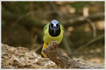 Title: Green Jay