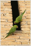 Title: Feral Green Parakeets