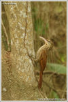 Title: Ivory-billed Woodcreeper