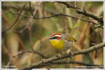 Title: Rufous-capped Warbler