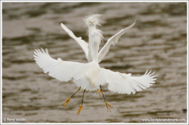 Snowy Egrets (fighting)