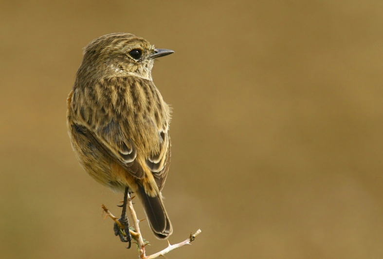 The Stonechat