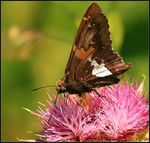 Title: Silver-spotted Skipper