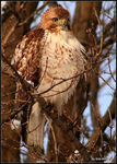 Title: Red-tailed Hawk