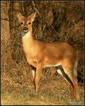 Title: White Tail Deer
