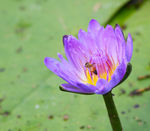 Title: Waterlily and bee
