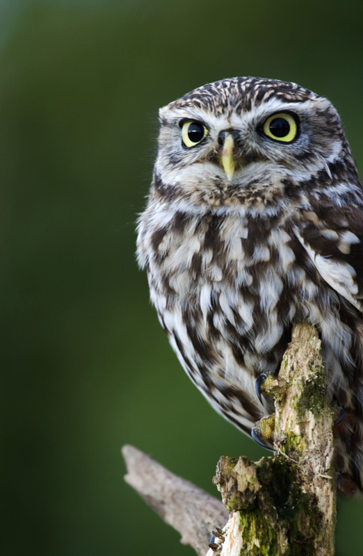Willow little Owl
