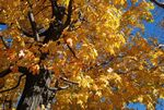 Title: Yellow  maple