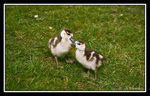 Title: Nile Goose Ducklings