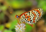 Title: Spotted Fritillary