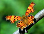 Title: Comma Butterfly