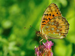 Title: Dark Green Fritillary